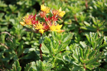 sedum-floriferum-weihenstephaner-gold-multipaleta