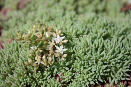 sedum-hispanicum-multipaleta