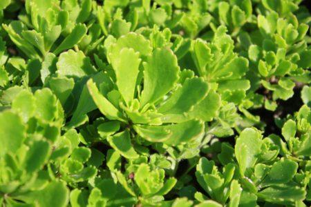 sedum-hybridum-multipaleta