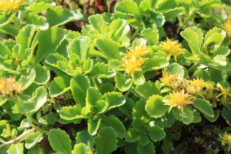 sedum-kamtschaticum-ellacombianum